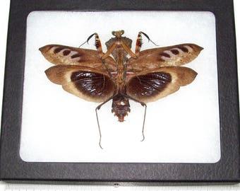 Real framed praying mantis deroplatys dessicata black death mantis male