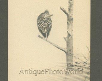 Green Heron bird on branch antique art photo