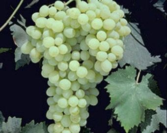 1 Organic Fiesta Seedless Grape Plant Rooted Cutting