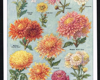 Flower Varieties CHRYSANTHEMUM  color lithograph print Natural history  Botanical art