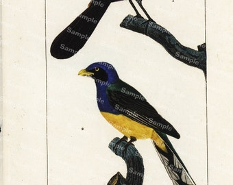 Ornithology bird  Engraving decorative art original print wall art home decor Hand Color  natural history Black Bird