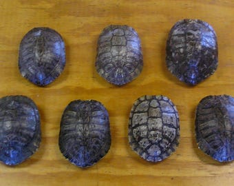 "7 - 6"" Red Ear Slider Turtle Shells"