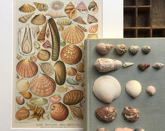 Our British Seashells original book plate mounted...circa 1900