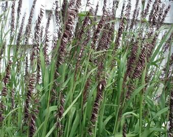 Purple Melic Grass 'Atropurpurea' Seeds