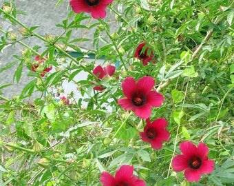 Hibiscus cannabinus Brown Indian Hemp 10 seeds