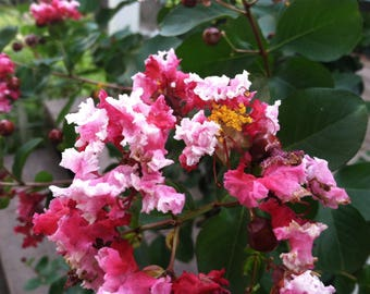Crepe Myrtle Lagerstroemia Peppermint Lace pint Plant FREE SHIP