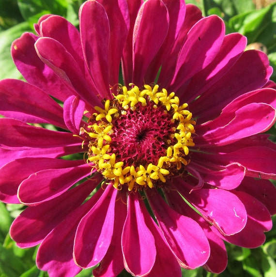 Zinnia 'Purple Dahlia'