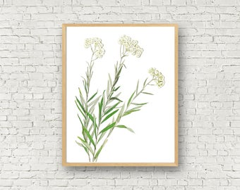 Pearly Everlasting - Herbarium Art Print - Real Pressed Flower Print - Rocky Mountain Wildflower - 11X14 White Flower Print - 8X10 - Nature