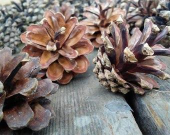 40pc Pine cones, Scotch Pine Cones, craft pine cones, wedding pine cones, home decor pine cones, pine cone wreath