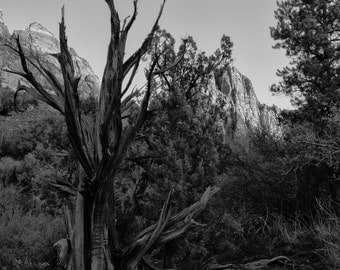 black and white landscape photography, national park, fine art photography, watchman, tree, zion