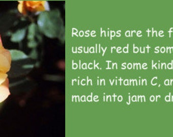 YELLOW ROSE BOOKMARKS