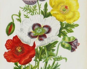 1872 Antique BOTANICAL print, Flower chromolithograph of a Opium Poppy, red poppy, yellow and violet. Original antique botanical print
