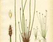 MARSH SPIKE-RUSH - 1905 Botanical Book Plate 424 - Bilder ur Nordens Flora