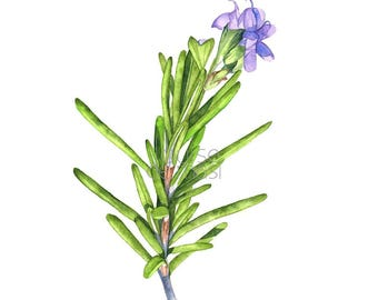 Rosemary print of watercolour painting 5 by 7 size, R19717, Rosemary watercolor painting print, kitchen wall art, herb watercolor,  herb