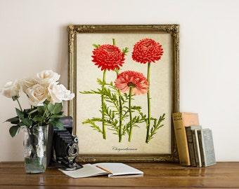 Chrysanthemum Botanical Print, Red Chrysanthemum Flower Print, Chrysanthemum, Natural History Chrysanthemum Illustration, Reproduction FL104