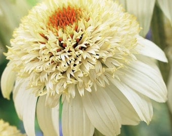 PBCO) MILKSHAKE CONEFLOWER~Seeds!!!!~~~~~~Tons of Buds!!