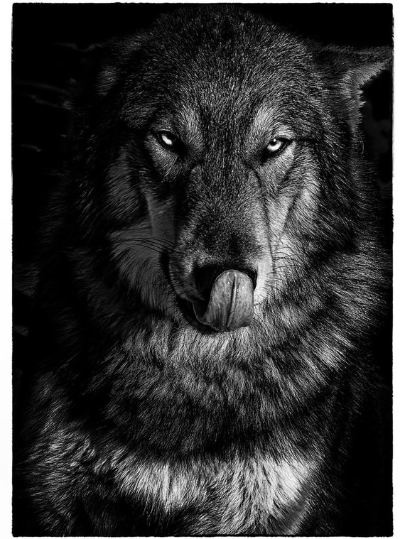 Wolf Grey Wolf Wolf Art Canvas Art Wall Art Black And