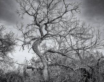 Old Texas Tree Fine Art Photograph