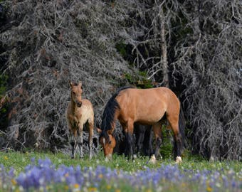 Wild horse photography--Pryor mountain mustangs