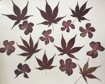 Real pressed flowers,Acer palmatum,Leander,