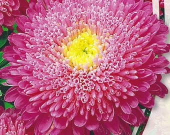 Aster Flower Seeds Connie Chinesis from Ukraine#964