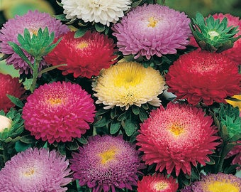 Aster Flower Seeds Princess annual from Ukraine#959