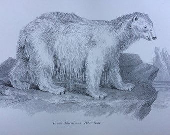 1891 Polar Bear Original Antique Steel Engraving - Wildlife Decor - Home Decor - Ursus Maritimus - Bear - Animal Print - Mammal
