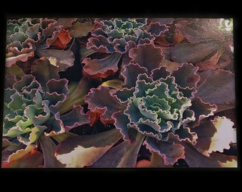 "Curly Echeveria Succulents - Photograph 5""x7"""