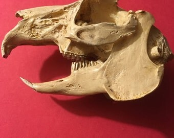 Rabit skull replica