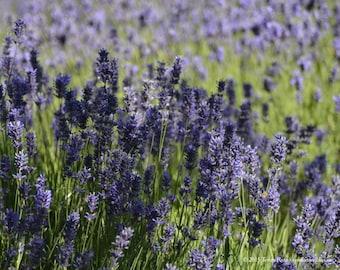 Lavender 1 - Sequim WA