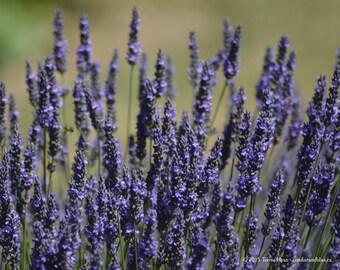 Lavender 5 - Sequim WA