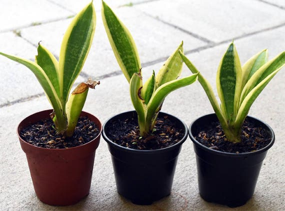organic sansevieria trifasciata snake plant mother in. Black Bedroom Furniture Sets. Home Design Ideas