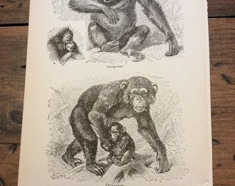 Antique Print - Apes, Chimpanzees, Primates, Book Page,Lithograph (B586)