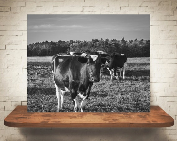 Cow Photograph - Fine Art Print - Black White Photography - Farm House - Home Wall Decor - Animal Pictures - Cows - Gifts