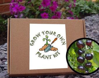 Grow your own  Black Cherry Tomato Plant Kit