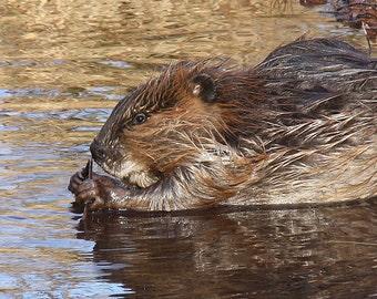 Beaver!