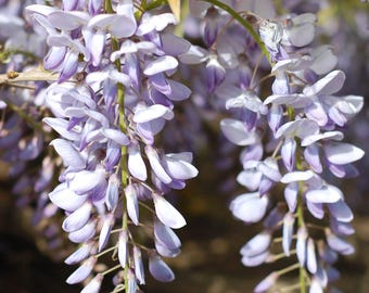 Wisteria Print, Nature Photography, Spring Blossoms, Bedroom Decor, Botanical Print