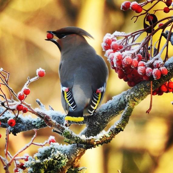 winter Waxwing with frozen berries