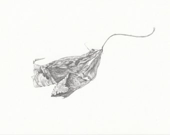 An original pencil drawing of a drying maple leaf