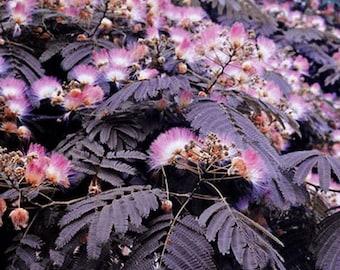 25 MIMOSA PERSIAN SILK Tree Seeds - Albizia Julibrissin - Bonsai or Landscape - Combine Shipping!