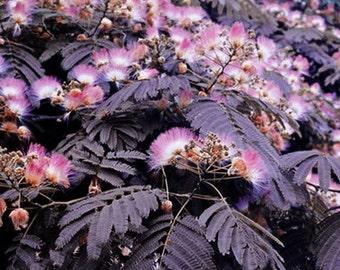 25 MIMOSA PERSIAN SILK Tree Seeds - Albizia Julibrissin - Bonsai or Landscape - 1 Dollar Shipping