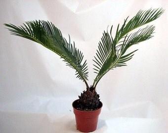 "Japanese Sago Palm - 4"" (Free Shipping!)"