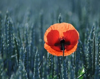 Poppy Sunrise II