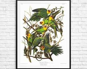 Carolina parrot, Carolina parrots, parrot art, parrot prints, parrot posters, parrot decor, parrot gifts, Birds of America, Audubon prints