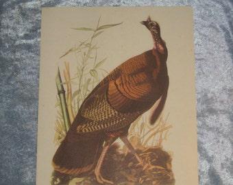 Wild Turkey Bird Audabon Print, Meleagris Gallopavo