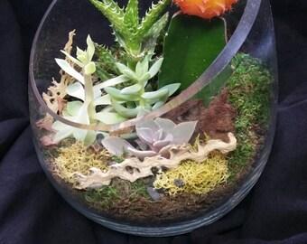 Living succulent terrarium, unique flowering cactus arrangement.