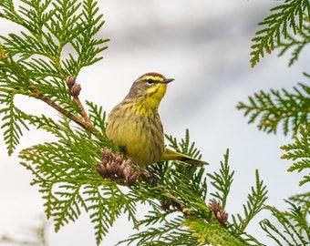 """Palm Warbler Print, Warbler Photo, Yellow Bird,  Songbird Art, """"Palm Warbler"""""""
