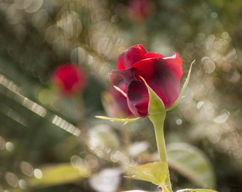 Rose Photography, FINE ART Rose Print, Rose Print, Rose Decor, Flower Photography, Floral Print, Large Wall Art