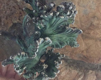 Crested monvillea