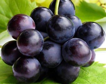 Grape Vine Vitis 'Dunston's Dream' Live Plant